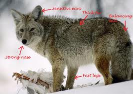 How to call in coyotes