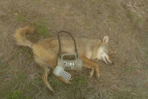 Electronic Coyote Calls