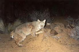 Bobcat Hunting at night